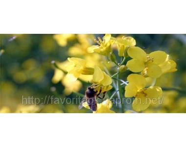 Семена озимого рапса Monsanto Экзотик