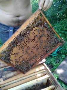 Плодная меченая бджоломатка .матка.порода украинская степная