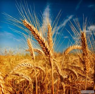 Озимая пшеница. Авторские сорта.