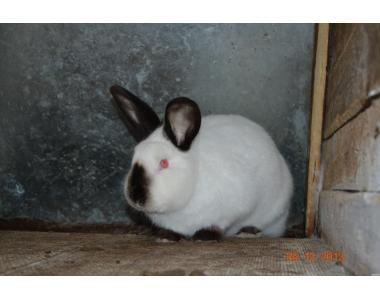 кролики Калифорнийские, НЗБ, БСС