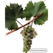 Продам виноград сорт Мускат Оттонель