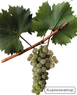 Виноград белых европейских сортов на вино Мускат Оттонель.