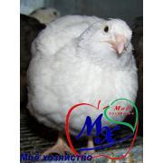 Яйца инкубационные  перепелов породы Техасский белый.