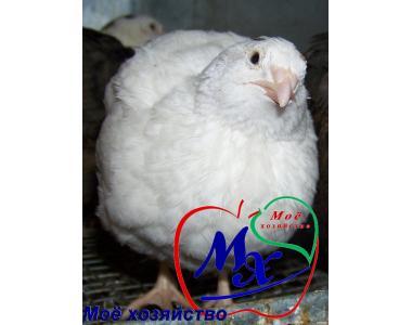 Яйця інкубаційні перепелів породи Техаський білий.