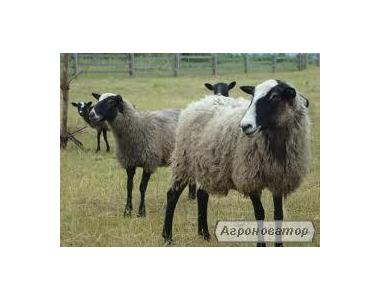 Романівська порода баранів