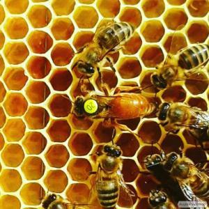 Пчеломатки Бакфаст г.Одесса Украина