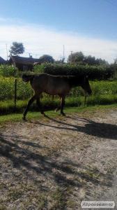 Продам молодого коня (кобилу)