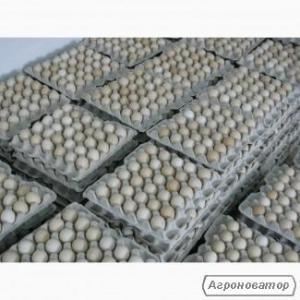 Яйця курячі інкубаційні бройлер Ross-308