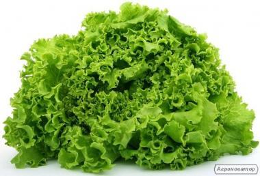 Продам салати оптом Лолло Біонда