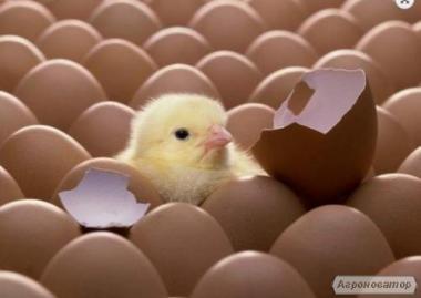 Яйцо инкубационное Ломан Браун.