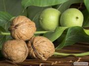 Саджанці волоського горіха недорого