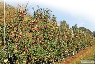 Продам яблоко 1, 2 сорт, Черкасская обл.