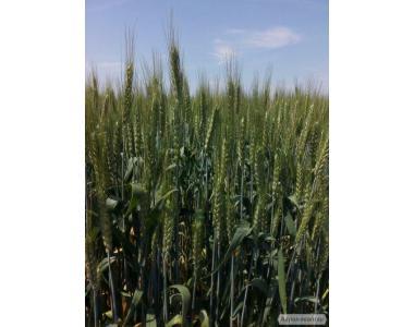 Семена озимой пшеницы Видрада (элита, СН-1)