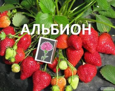 Продаем ягоду и саженцы раних и ремонтаных сортов клубники Хоней, Клер