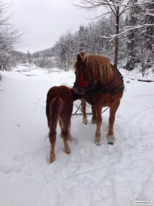 Продам кобилу і коня