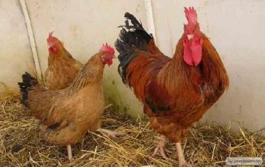 Добові курчата курей породи Кучинська ювілейна
