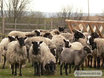 Продам стадо овец романовской породы