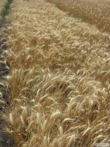 Семена пшеницы  озимой - сорт Благо. Элита