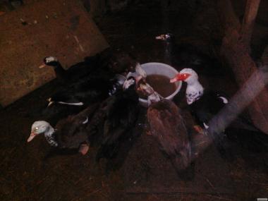 Индоутки, Мускусные утки