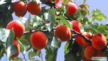 Саженцы абрикоса сорта Том Кот от производителя