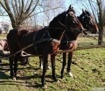 Жеребна кобила орлівка