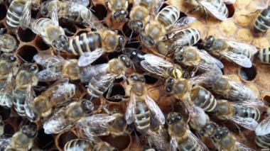 Продам плодные меченные пчелиные матки Карпатской породы 2020г.