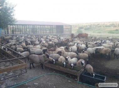 Романівські вівці, яскраві, барани