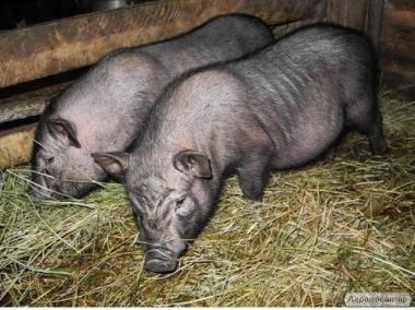 Свині, поросята ветнамо - корейської породи