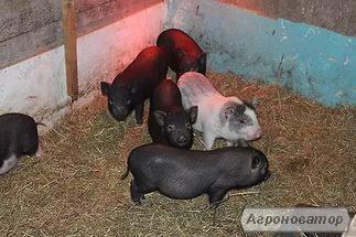 М'ясо свинина