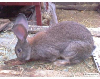 Продам кролей породы Серый Великан. Помеси Серебра