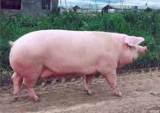 свині продаж