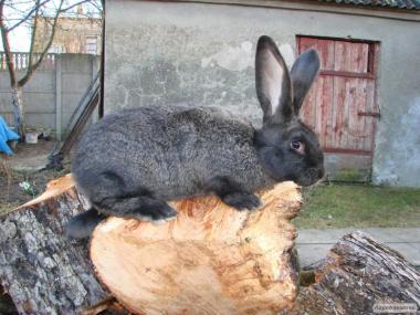 Продам кролів велетнів 4міс. Привиті.