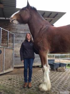 Коні породи Шайр.
