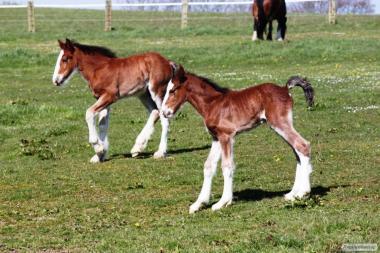 Лошади породы Шайр.