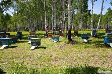 Продам бджолосім'ї ( пчелосемьи ) 2017