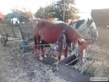 Срочно продам лошадей