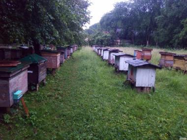 Бджоломатки породи Карпатська