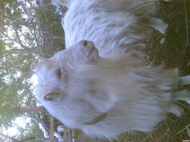 Козел породи (Ламанча