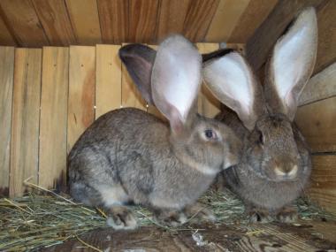 Продам кроликов фландр 5, 5месяца