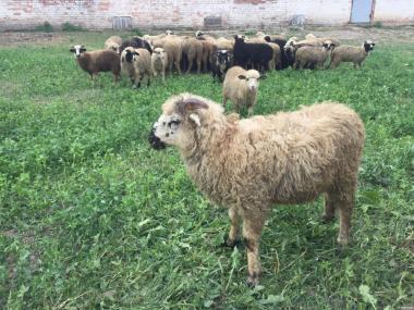 продам молодых баранов, овец, ягнят
