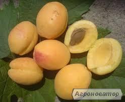 Саженец абрикоса Ананаска(Шалах)