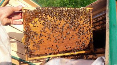 Пакети карпатських бджіл з племінної пасіки Віктора Папп.