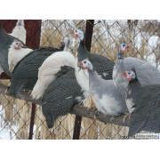 Цесарки: инкубационные яйца, молодняк, взрослая птица