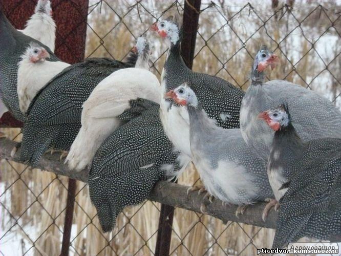 Цесарки: інкубаційні яйця, молодняк, доросла птиця