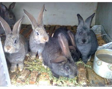 ПРОДАМ кроликов помесь Серого Великана с Фландром