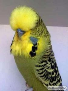выставочные волнистые попугаи , попугаи Kорелла