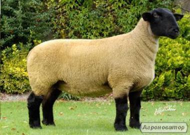 Продажа овец, баранов,ягнят. Суффолк, Прекос