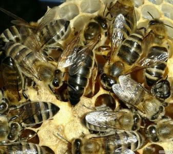 Продам 2018 ПЛОДОТВОРНЫЕ Пчеломатки Карпатки 130-150грн