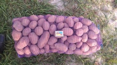 продам картоплю Санті та Альвару,безкоштовна доставка Київ від 2х сіток