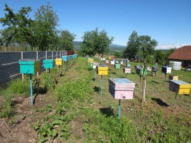 Продам плодные пчеломатки карпатки вучковської селекции.